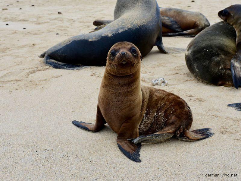 Seelöwe Galapagos