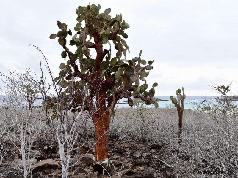 Kaktusbaum Santa Fe