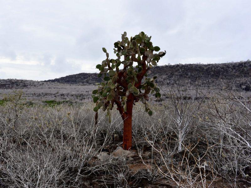 Kaktusbaum Galapagos Santa Fe