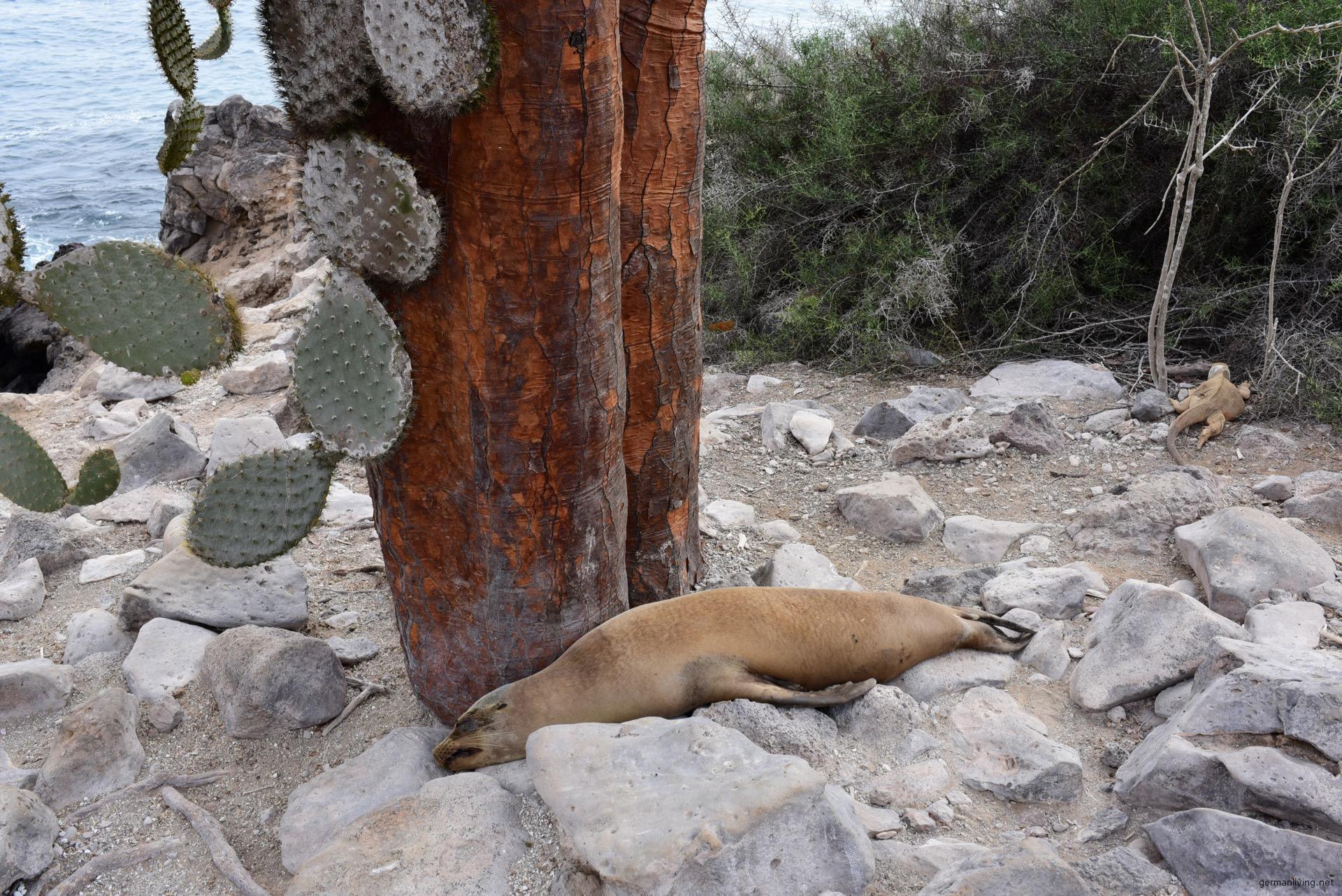 Seelöwe auf Santa Fe Galapagos