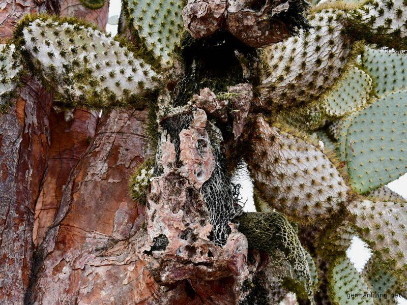 Opuntia Galapagos Santa Fe