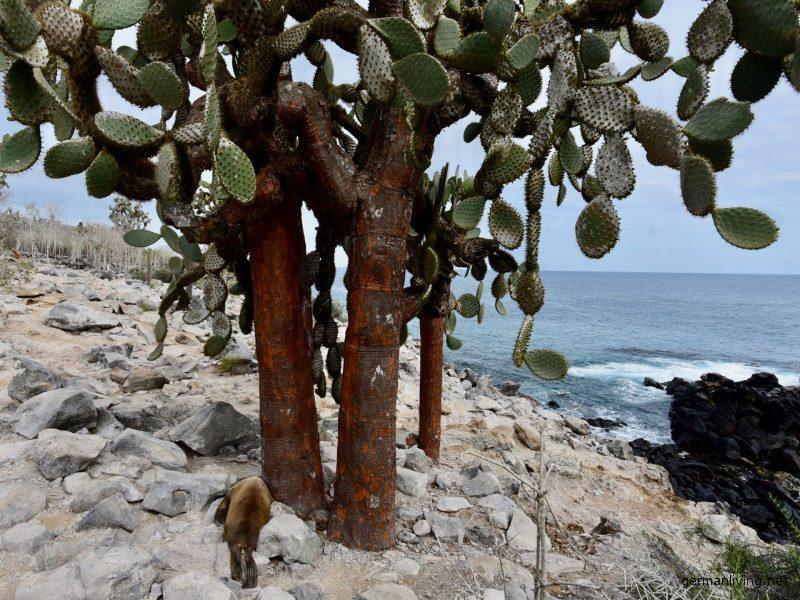 Kaktusbaum Galapagos