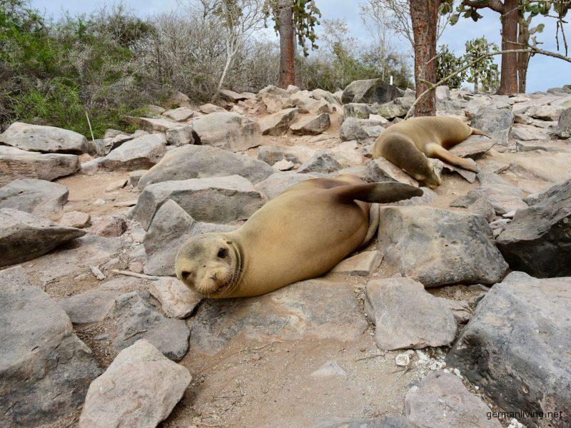 Seelöwen - Santa Fe Island Galapagos