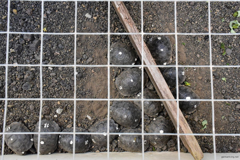 Babyschildkröten-Galapaguera