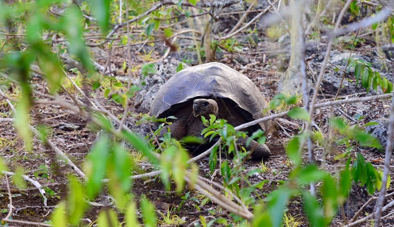 Galapagos Schildkröte San Cristobal