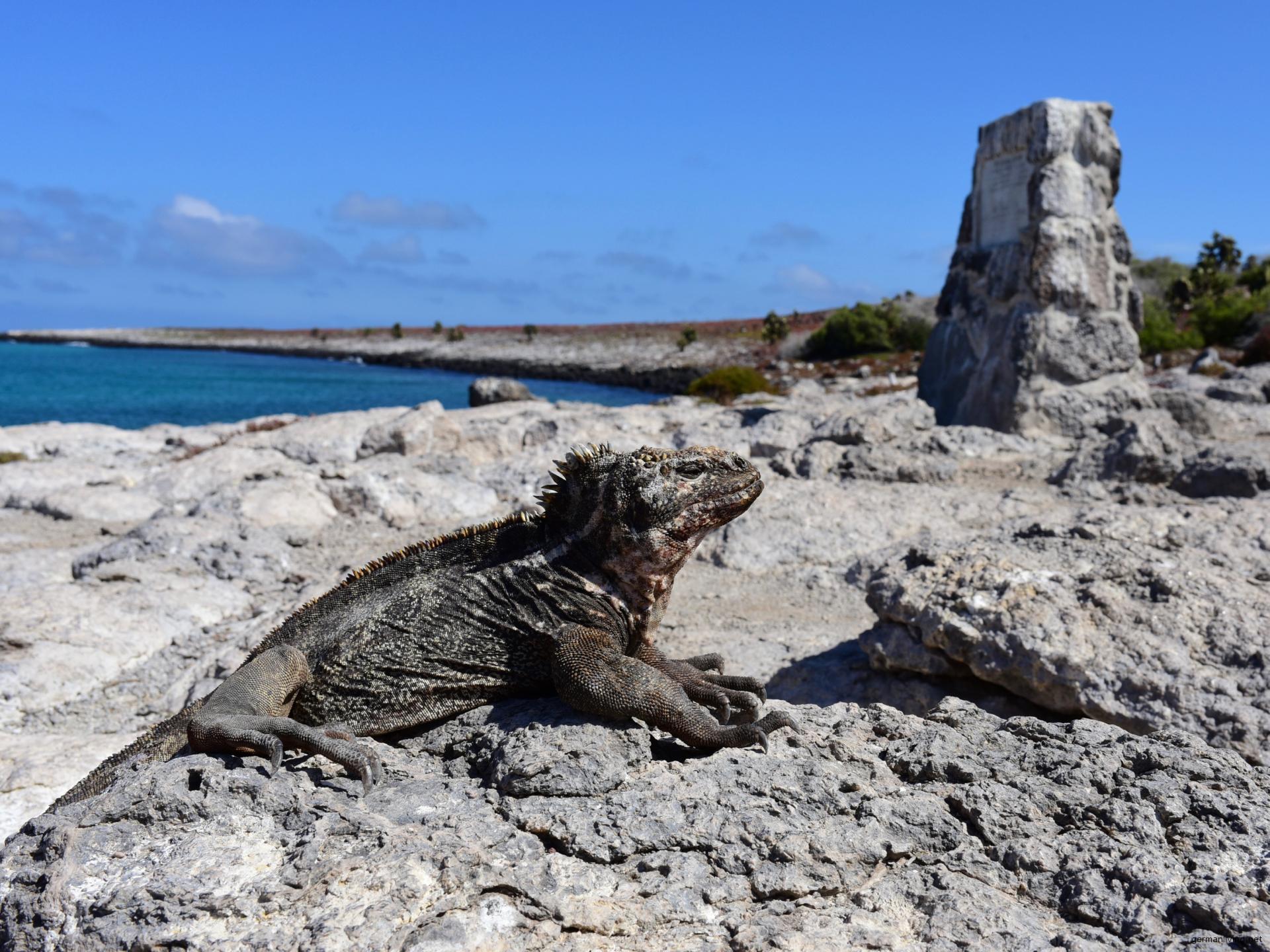 Galapagos Land Iguana auf der Galapagos Insel Plaza Sur