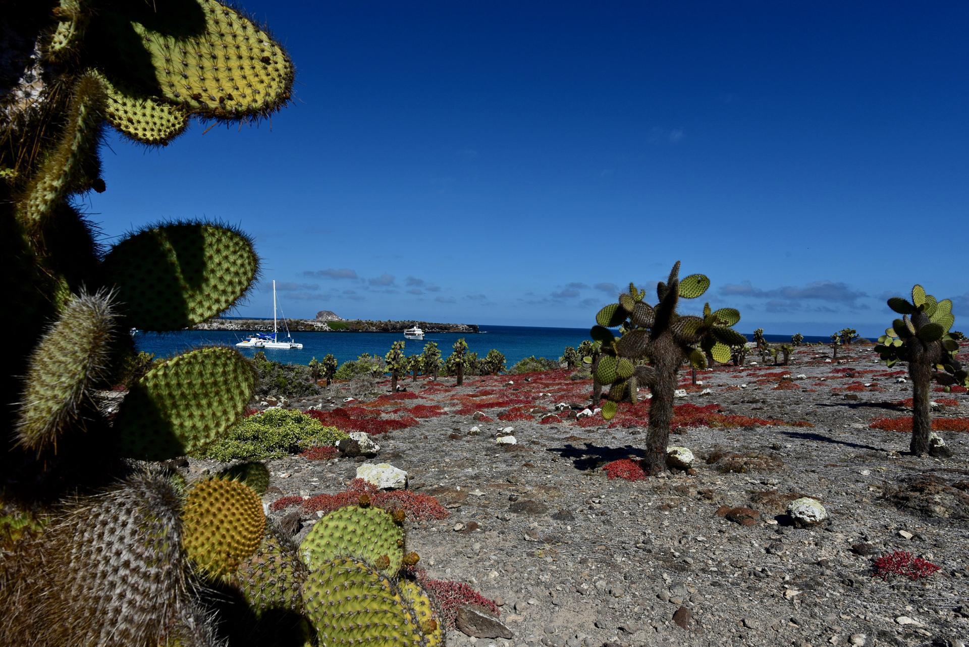 Sesuvien und Opuntien Galapagos Insel Plaza Sur