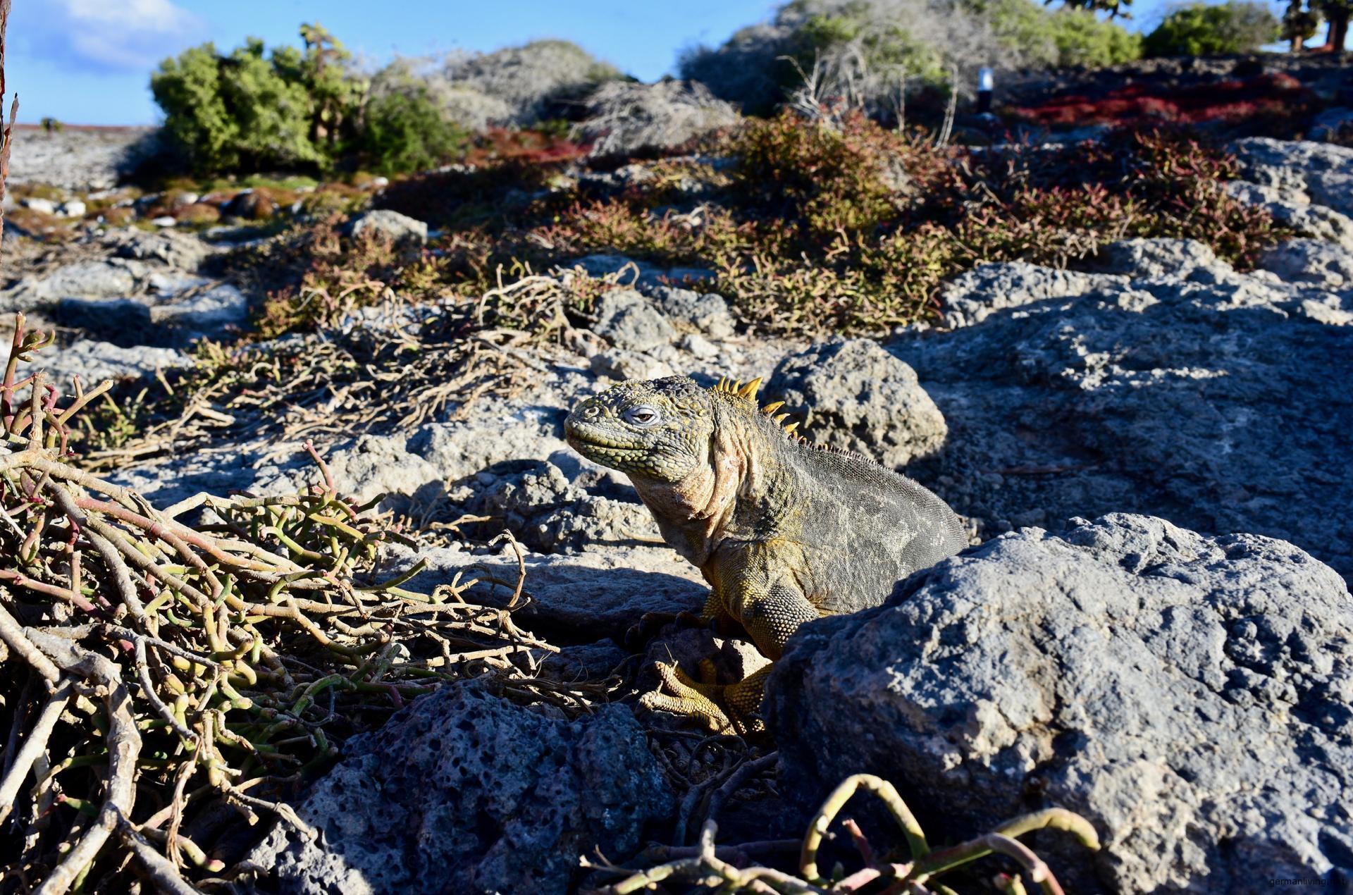 Leguan auf Plaza Sur Galapagos